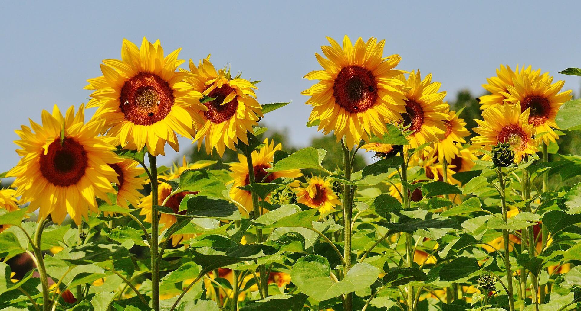 Gambar Tumbuhan Dikotil Bunga Matahari
