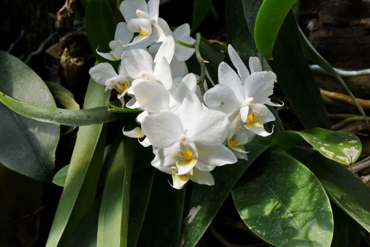 Gambar Tumbuhan Monokotil Bunga Anggrek