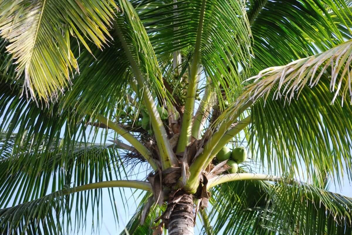 Gambar Tumbuhan Monokotil Pohon Kelapa
